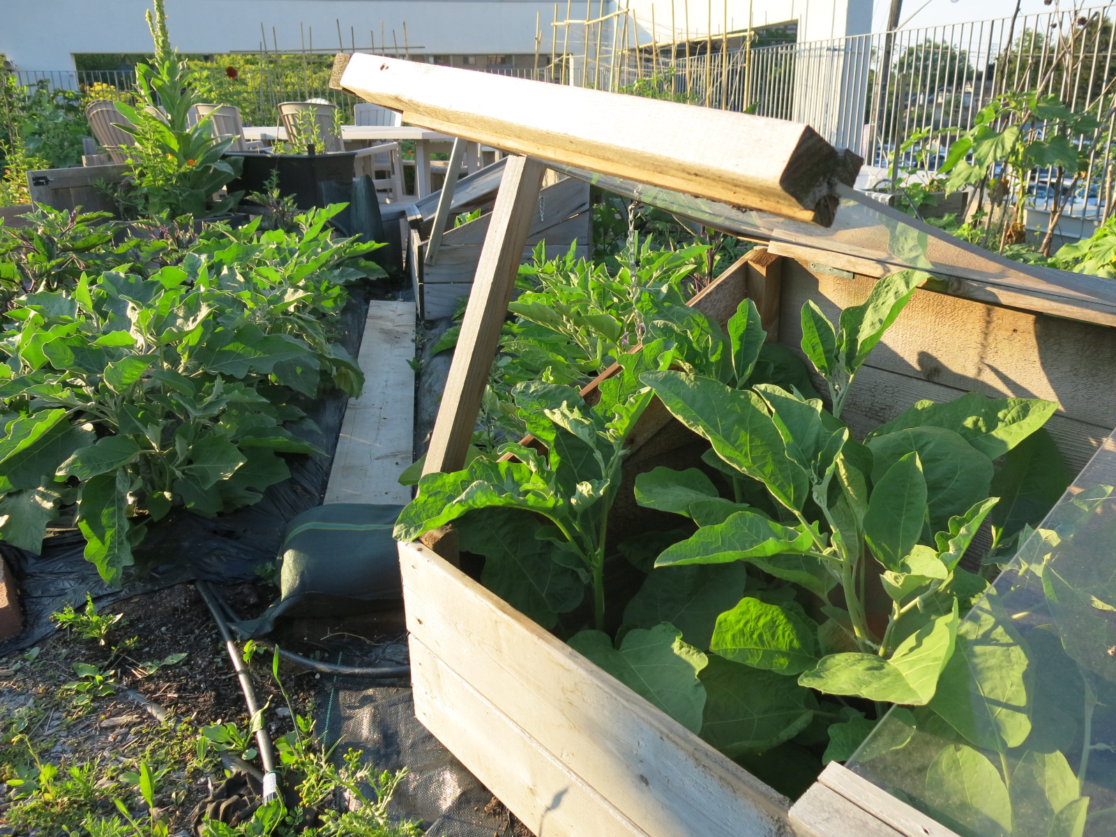Cold frames with eggplants on Access Alliance's Green Roof at Danforth and Victoria Park